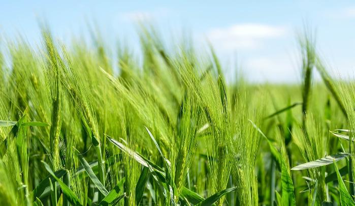 Barley crop fields