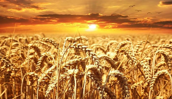 Eversole, Wheat, Genome, Plant Genomics