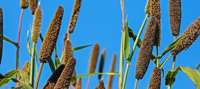 Exploring the orphan crop pearl millet